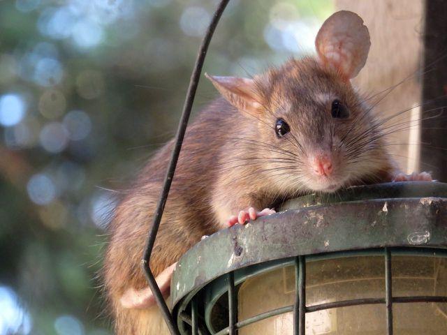 Scharfe Gerüche wie von Essig vertreiben Ratten.