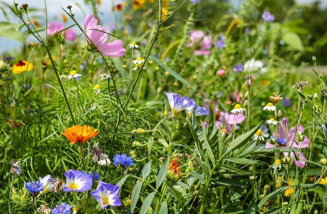 Die Blütenpracht der Magerwiese lockt verschiedenste Insektenarten an.