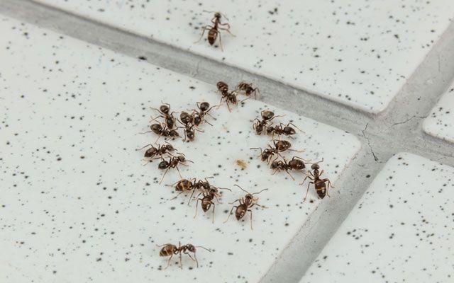 Tipps für ein ameisenfreies Zuhause – Mittel gegen Ameisen