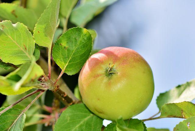 Feste säuerliche Äpfel eignen sich besonders gut für Apfelgelee.