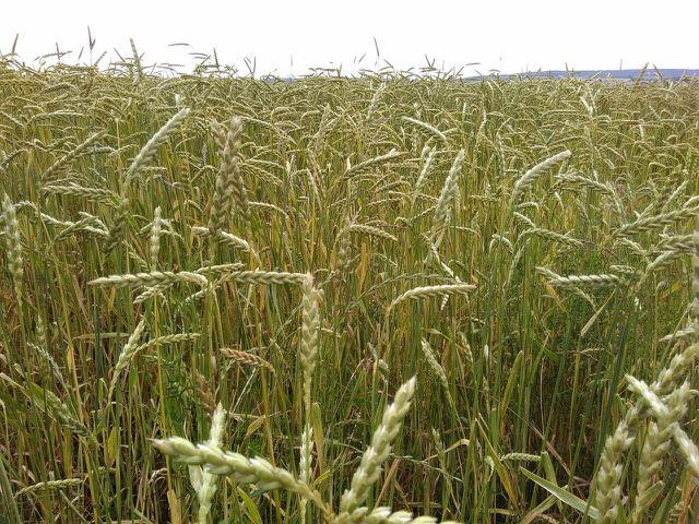 Dinkel ähnelt äußerlich dem Weizen, die Ähren und Körner sind aber länger