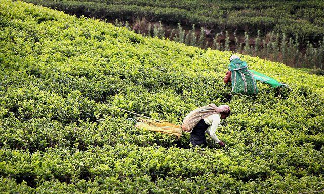Teepflücker in Sri Lanka
