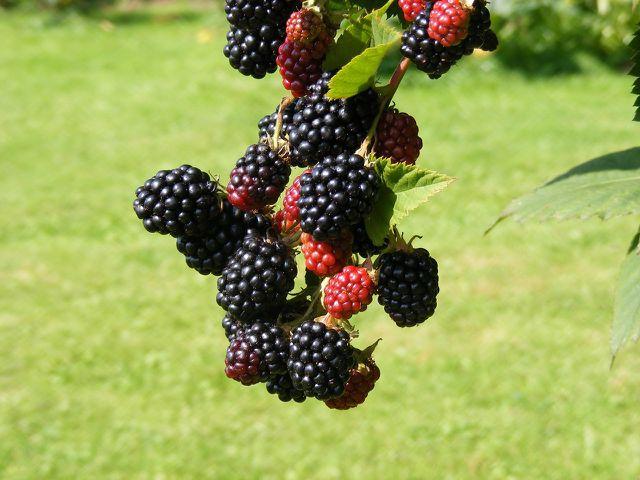 Reife Früchte sind schwarz, weich und lassen sich leicht lösen.