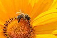 Kleine Biene ganz groß am Weltbienentag