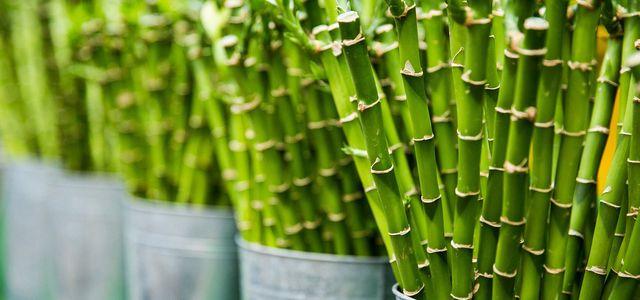 Bambus vermehren