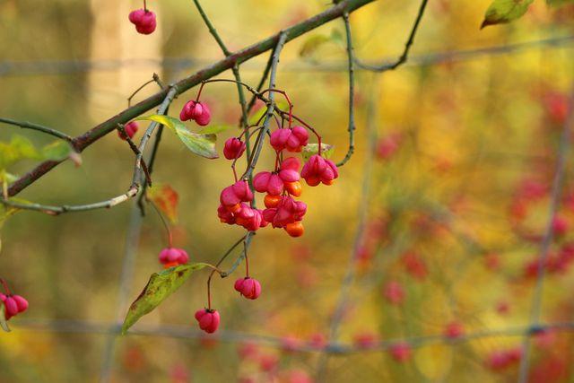 Seine farbenfrohen Früchte machen das Pfaffenhütchen zu einem beliebten Zierbaum.