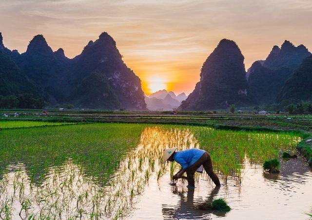 Reis steht beim Anbau im Wasser.