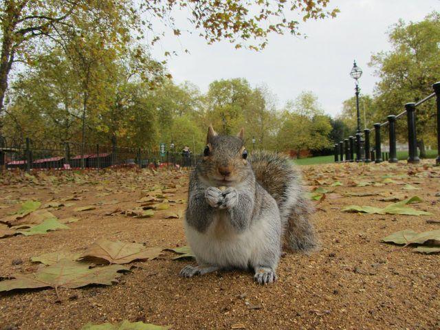 Grauhörnchen sind deutlich größer und schwerer als die heimischen rotbraunen Eichhörnchen.