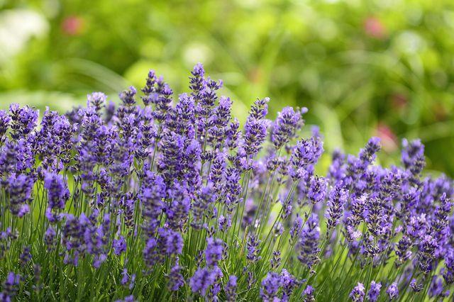 """Wenn du Lavendel richtig schneiden willst, orientiere dich an der """"Ein-Drittel-Zwei-Drittel-Methode""""."""