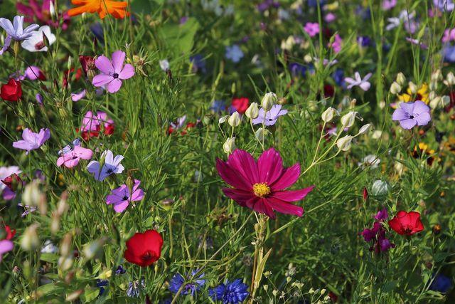 Wildwachsende Gräser und Wildblumen sind die wichtigsten Komponenten eines insektenfreundlichen Gartens.