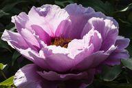 Die Blüten der Pfingstrose können einen Durchmesser von über 20 Zentimeter haben