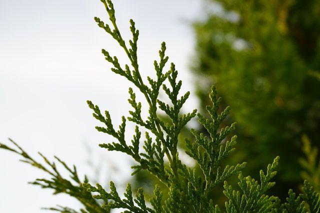 Ein trüber und frostfreier Tag im Frühjahr oder Spätsommer eignet sich am besten, um Koniferen zu schneiden.