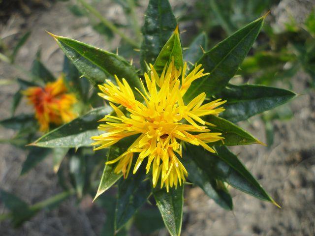Am besten pflanzt du Saflor an einen sonnigen und warmen Standort, wenn du ihn in deinem Garten anbauen willst.