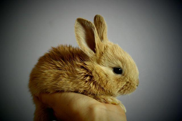 Kaninchen, die weniger als zwölf Wochen alt sind, sollten keinesfalls von der Mutter getrennt werden.