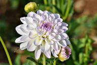 Dahlien zu pflanzen lohnt sich: Die Blumen haben unterschiedlichste Farben und Formen.
