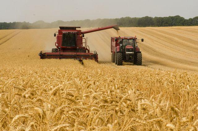 Kamut bringt deutlich geringere Erträge als andere Getreidesorten.