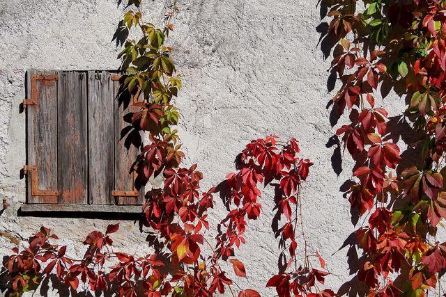 Roter Wein färbt sich im Herbst rot