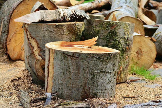 Um die Naturverjüngung zu fördern, müssen Altbäume gefällt werden, die jungen Bäumen den benötigten Lichtbedarf entziehen.