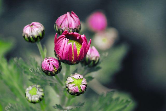 Mit der richtigen Pflege bilden Chrysanthemen viele Blüten aus.