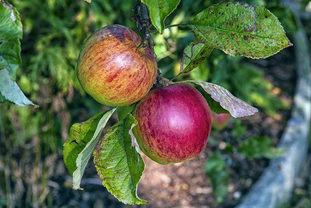 Einige Sorten wie der Boskoop-Apfel sind resistent gegen Apfelschorf.