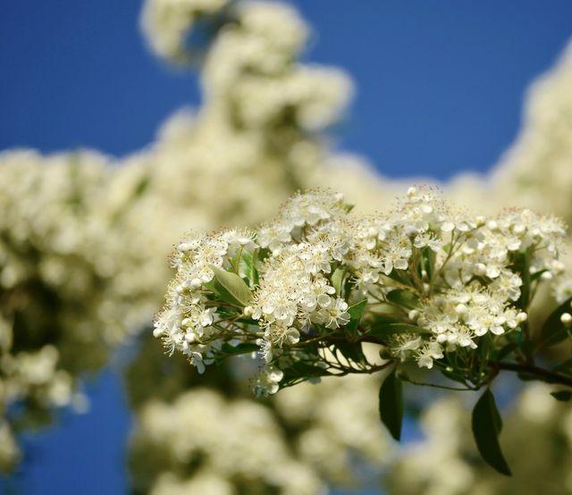 Wie sein Name verrät, schmückt sich der Weißdorn im Sommer mit kleinen, weißen Blüten.