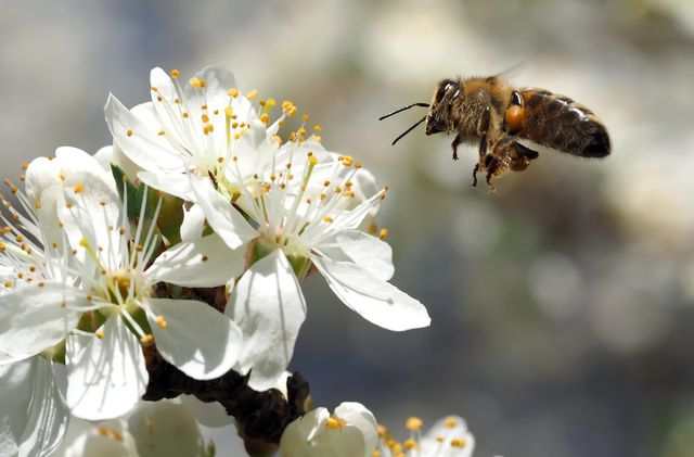 Bienen als natürliche Bestäuber