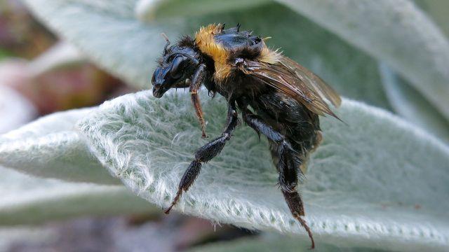 Wollziest zieht Bienen, Hummeln und andere Insekten an.