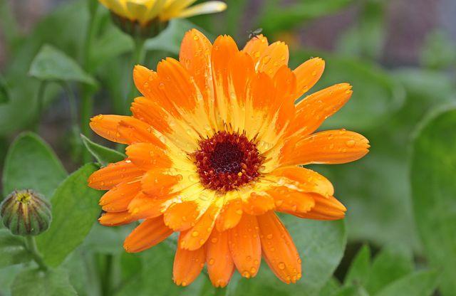 Ringelblumen locken natürliche Fressfeinde an - die Schlupfwespen.