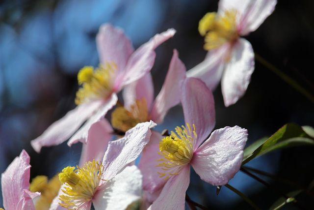 Die Blütezeit ist der ideale Zeitpunkt, um die Clematis zu vermehren, weil sie jetzt besonders viel Energie hat.