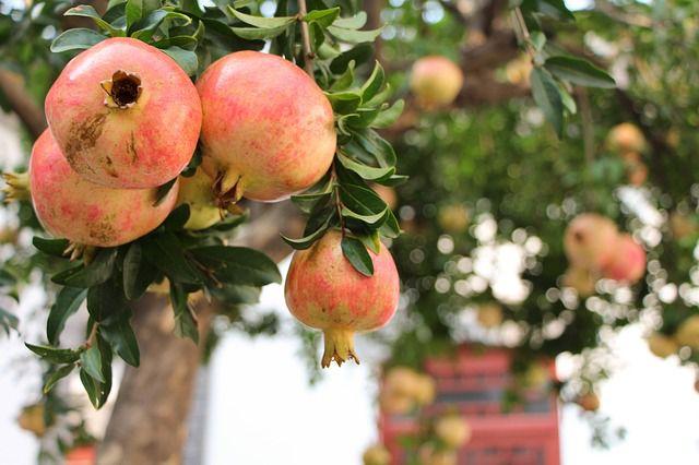 Granatapfel-Früchte am Baum
