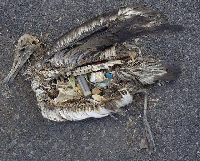 Plastik im Meer: Seevögel wie diser Albatross fressen Plastikteile und verenden daran.