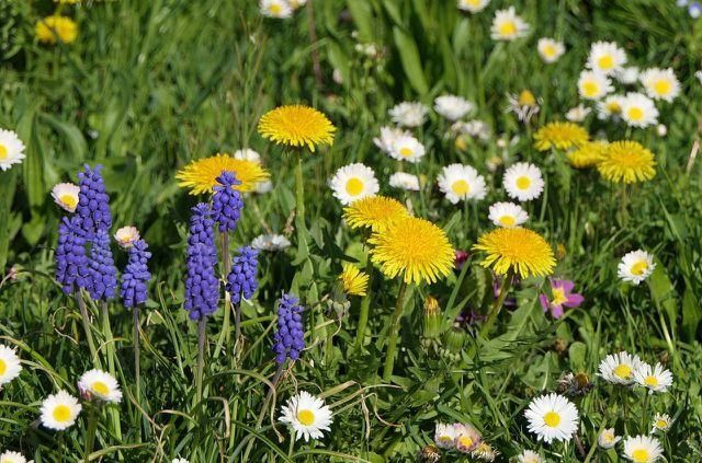 Eine bunt blühende Wiese bringt Insekten mehr als raspelkurzer Rasen.