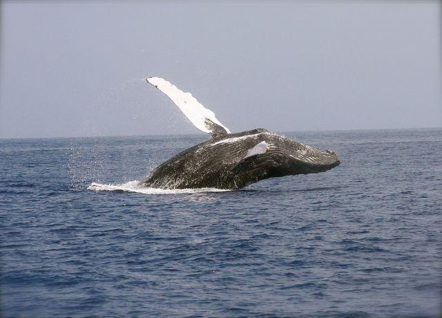 Wale spielen eine wichtige Rolle im Kampf gegen den Klimawandel.