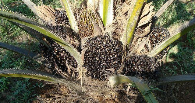 Palmöl dort, wo vorher Regenwald war