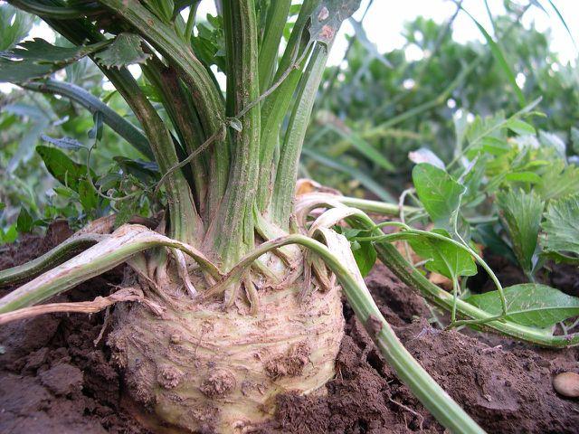 Sowohl Knolle als auch Stängel und Blätter der Selleriepflanze enthalten wertvolle Inhaltsstoffe.