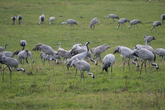Zugvögel wie Kraniche benötige Ruheplätze.