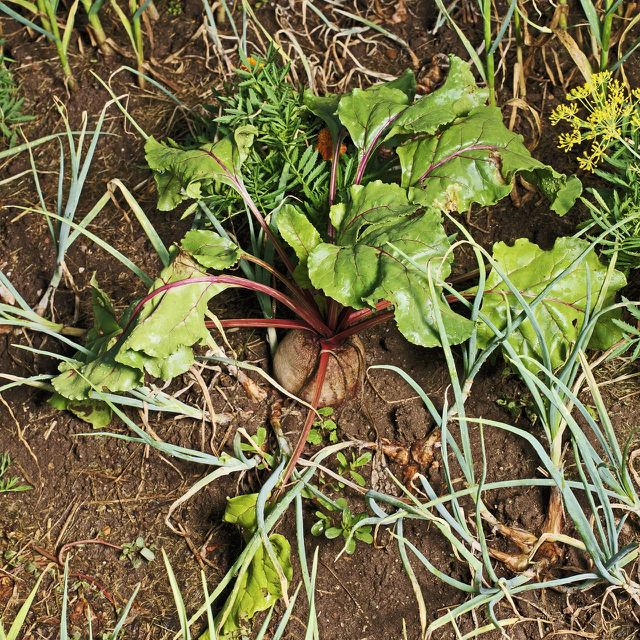 In den Blättern der Roten Bete sind besonders viele Vitamine enthalten.