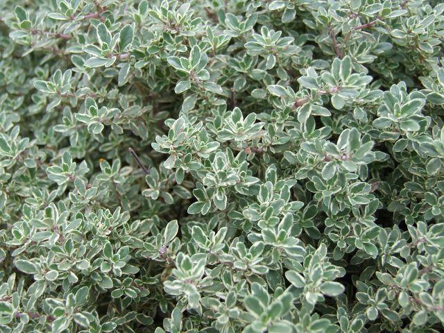 Zitronenthymian ist eine bodennahe Pflanze.