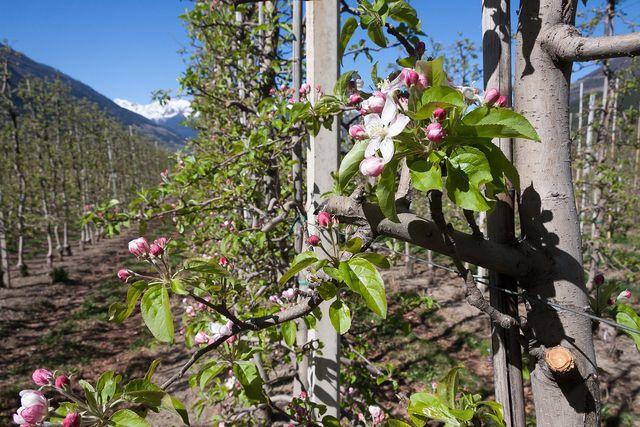 Apfelplantage aus Spalieren