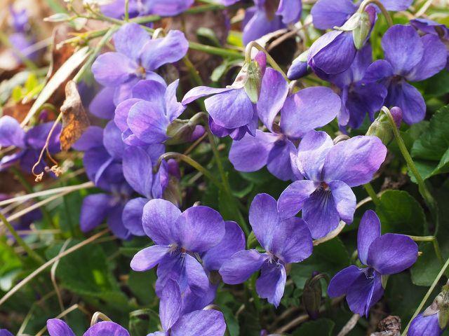Nach dem Einpflanzen musst du das Duftveilchen nur sehr selten gießen und so gut wie gar nicht düngen.