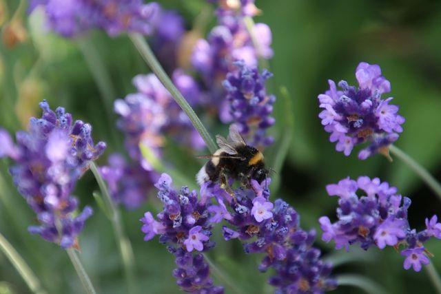 Von Bienen geliebt, von Blattläusen und Motten gemieden.