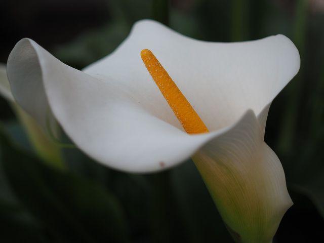 Die Calla braucht im Winter viel Licht, verträgt dann aber keine direkte Sonneneinstrahlung.