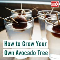 How to Grow an Avocado Tree – Step by Step