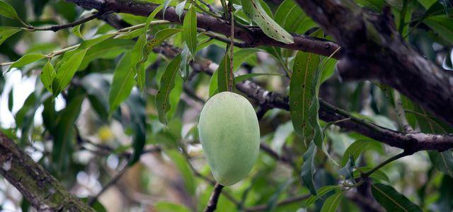 Mangokern einfpflanzen