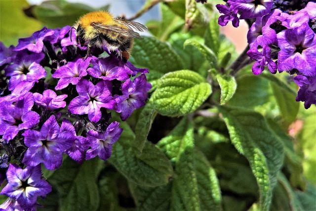 Auch Insekten wie Bienen oder Schmetterlinge lieben die Vanilleblume.