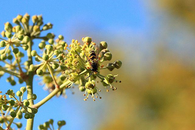Weitere heimische Arten sind die Feldwespen und Kuckuckswespen.