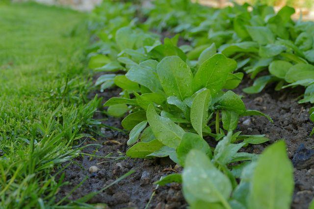 Spinat braucht viel Licht und einen durchlässigen Boden.