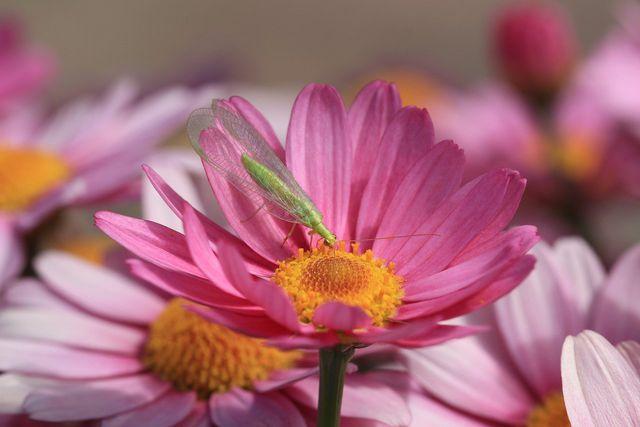 Während sich die erwachsene Florfliege von Blütennektar ernährt, fressen ihre Larven vor allem Blattläuse.