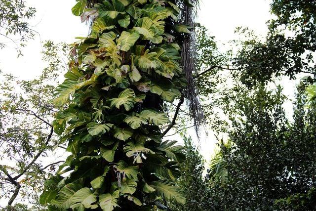 Die Monstera stammt aus dem Regenwald