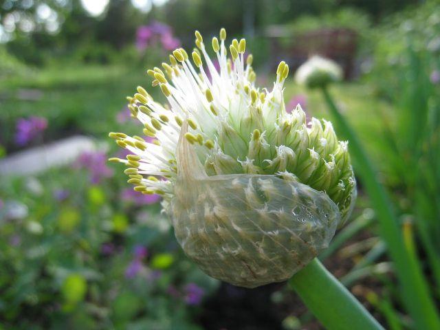 Die Winterheckenzwiebel kannst du von März bis Mai aussäen oder als Jungpflanze direkt in die Erde setzen.